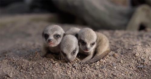 Bebès suricates