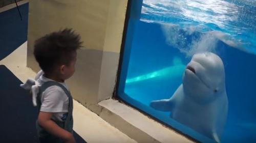 Una balena beluga em tira aigua!