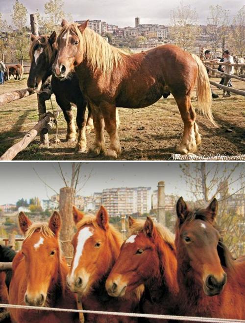 31è Concurs Tradicional de Cavalls de Puigcerdà