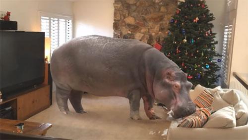 Un nen rep un hipopòtam de regal de Nadal