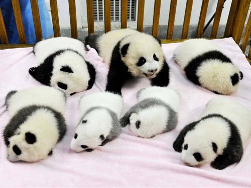Han nascut 7 pandes!!
