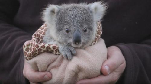 El petit coala Joey
